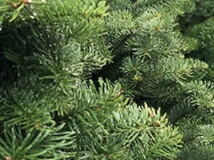 christmas tree care blog