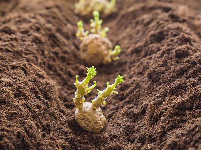 Why Everyone Should Plant Potatoes Blog