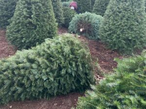 Fresh-cut christmas tree care blog